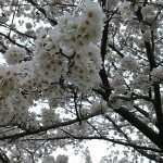 京都人のお薦めお花見スポット